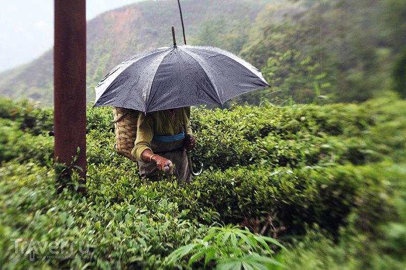 Сборщица чая. Моросит дождь - а когда он в Дардже не моросит?? - но работать приходится при любой погоде / Индия