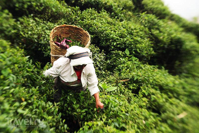 Дождь временно прекратился, зонт сложили, бросили в корзину с чайными листьями и работаем дальше / Индия