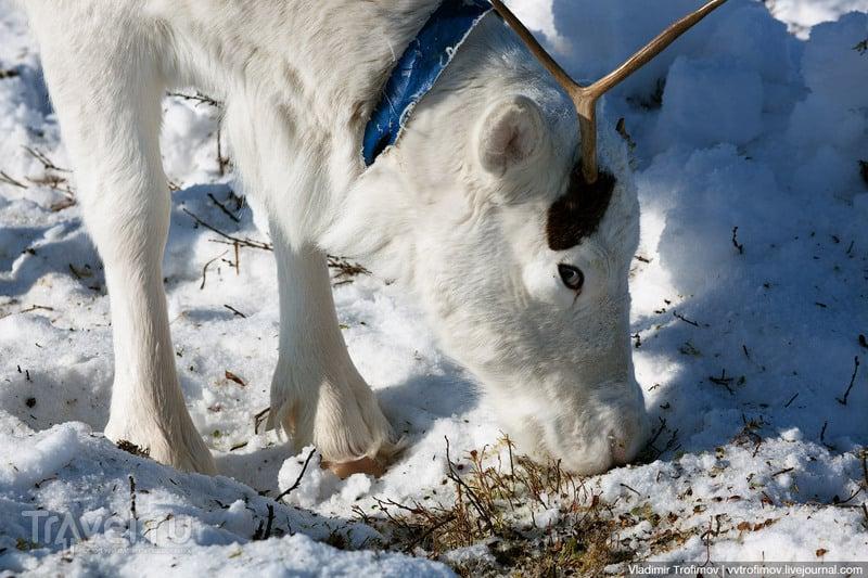 Как я с ненцами по тундре кочевал / Фото из России