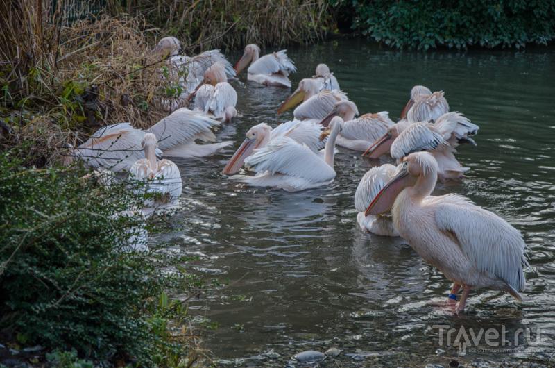 Пеликаны в зоопарке Базеля / Фото из Швейцарии