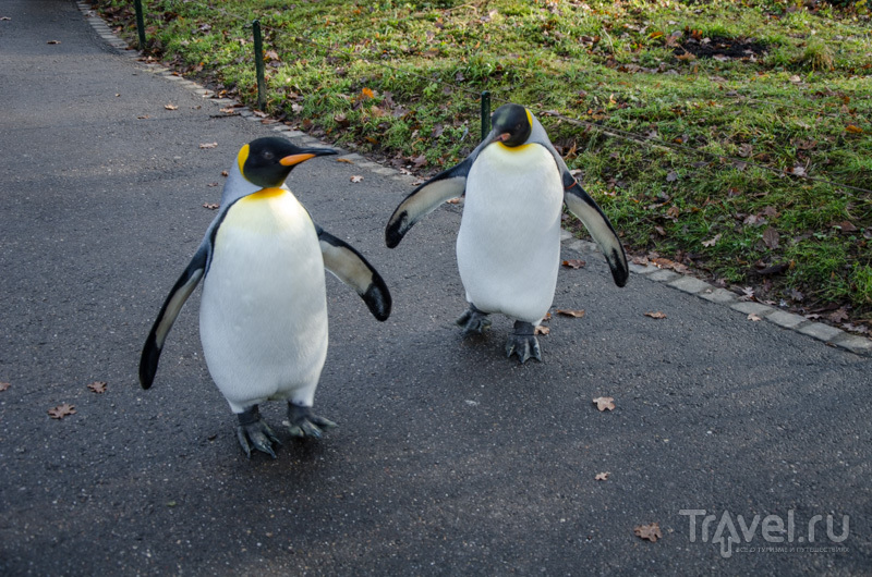 Королевские пингвины на прогулке / Фото из Швейцарии
