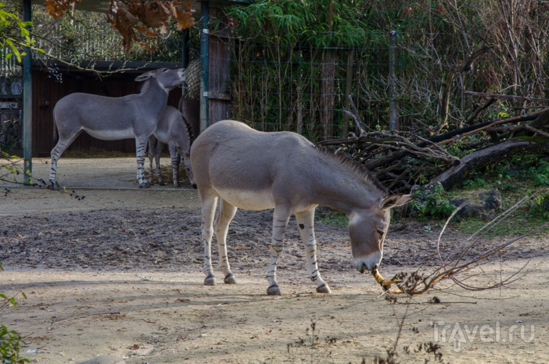 Сомалийский дикий ослик / Фото из Швейцарии
