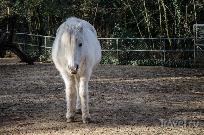 Шетландский пони / Фото из Швейцарии