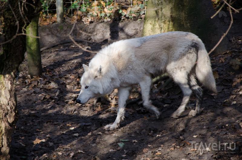 Волк в базельском зоопарке / Фото из Швейцарии