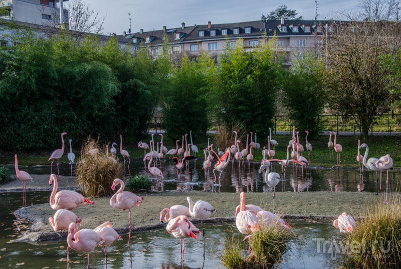 Фламинго в центре Базеля / Фото из Швейцарии