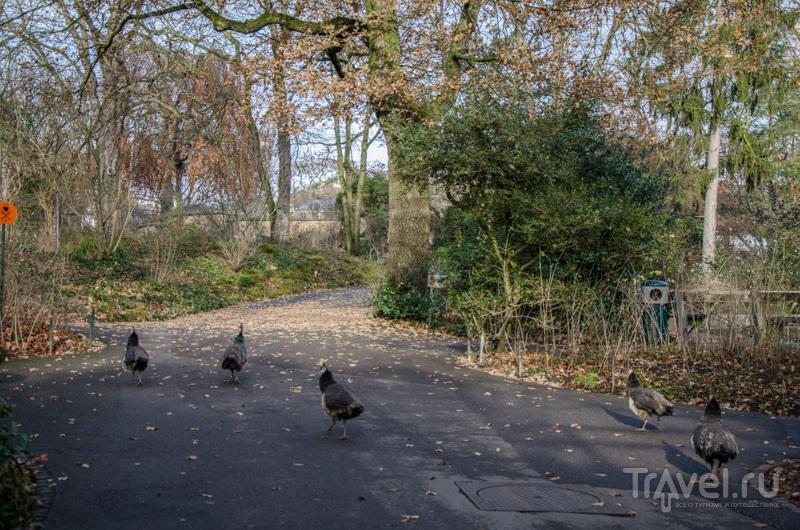 Павлины бегают по дорожкам / Фото из Швейцарии