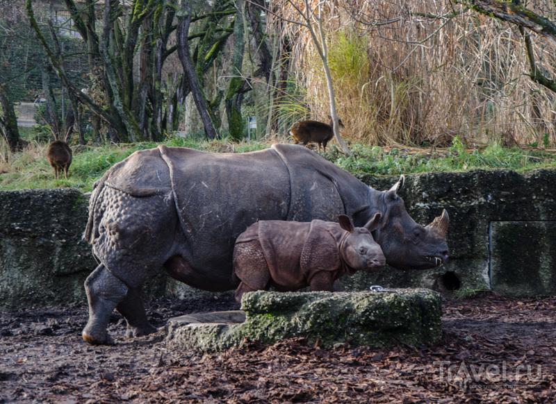 Мама-носорог и малыш / Фото из Швейцарии