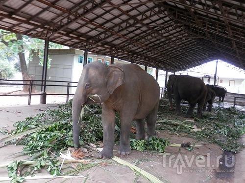 Шри-Ланка - слоновий питомник / Шри-Ланка