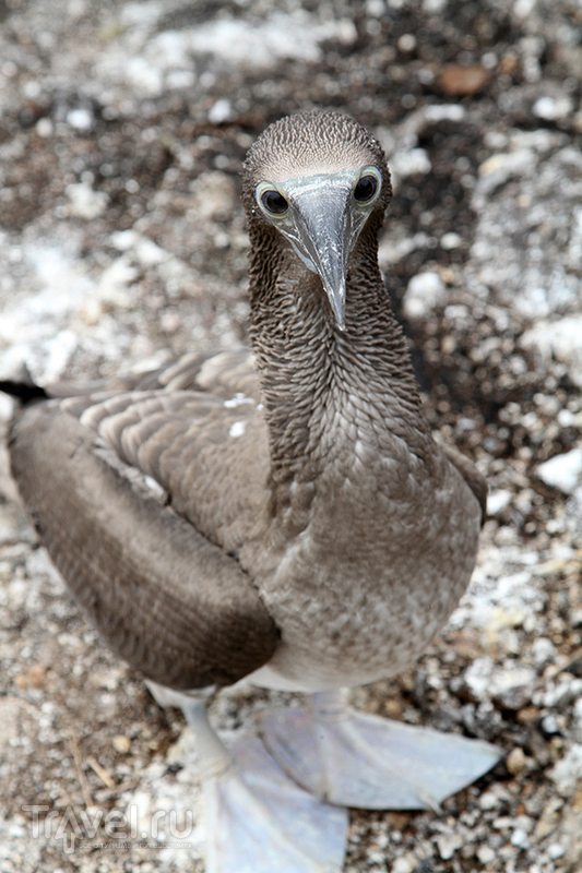 Галапагосские острова. Blue footed boobies. Голубоногая олуша / Фото из Эквадора