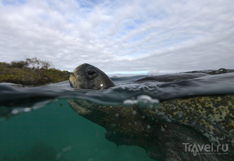Галапагосские острова. Зелёные черепахи / Фото из Эквадора