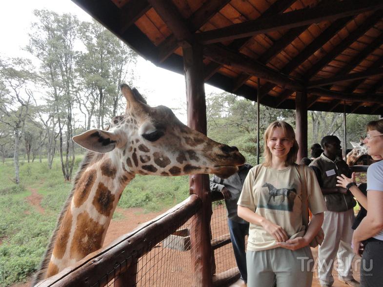 Дикие и ручные жирафы в Кении / Кения
