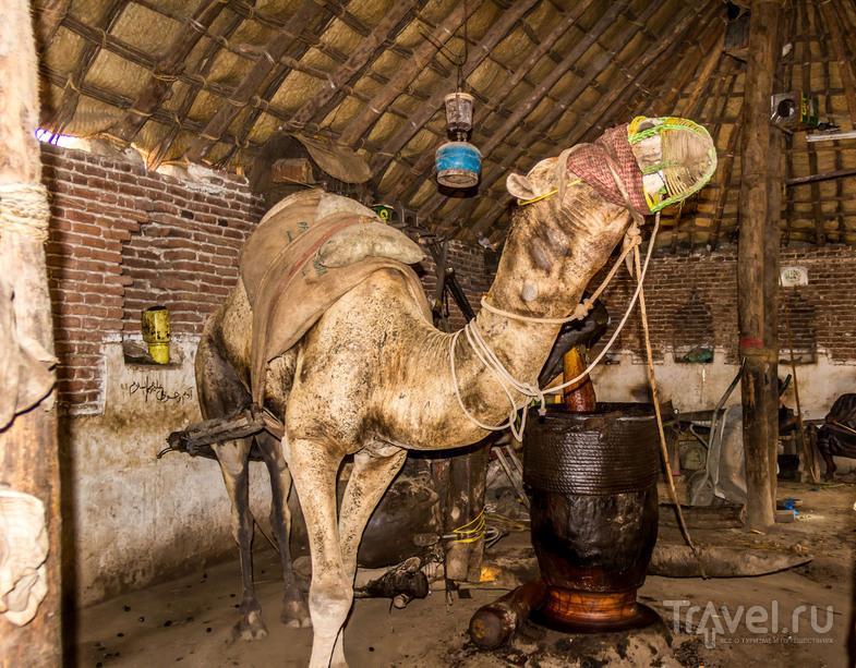 Верблюд ходят по кругу и давит масло, Йемен / Фото из Йемена