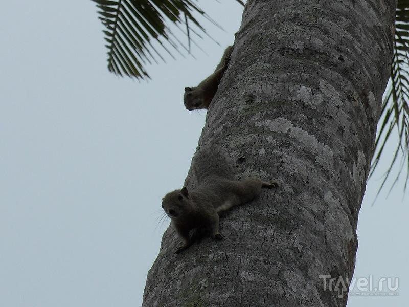 Белки на пальмах / Фото из Малайзии