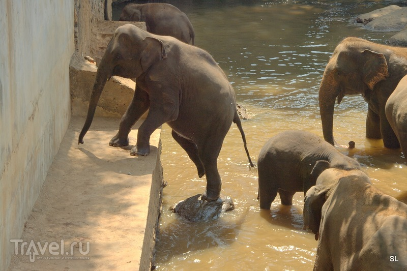 Шри-Ланка. Пиннавела: Купание слонов / Шри-Ланка