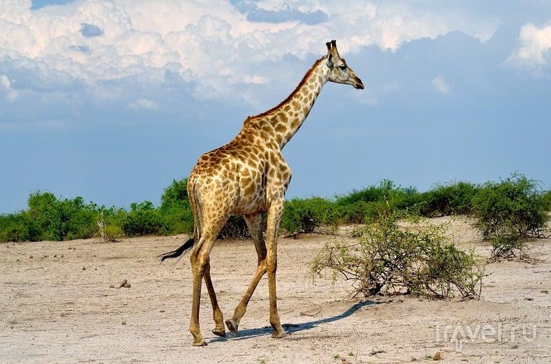 Жираф. Парк Чобе, Ботсвана / Фото из Ботсваны