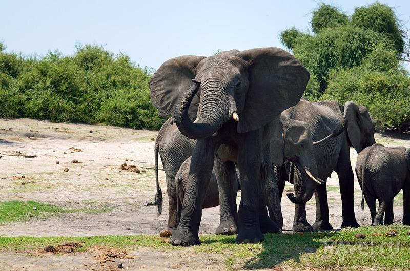 Слоны, жирафы и бегемоты парка Чобе / Фото из Ботсваны