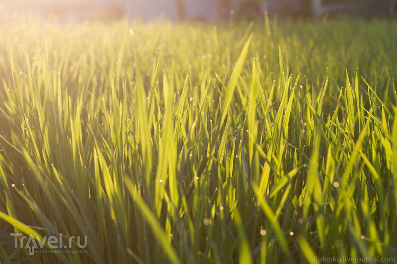 Рисовые террасы острова Бали. Индонезия / Индонезия