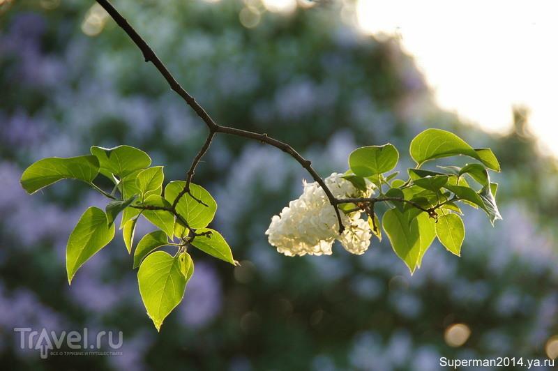 Сиреневый сад / Россия