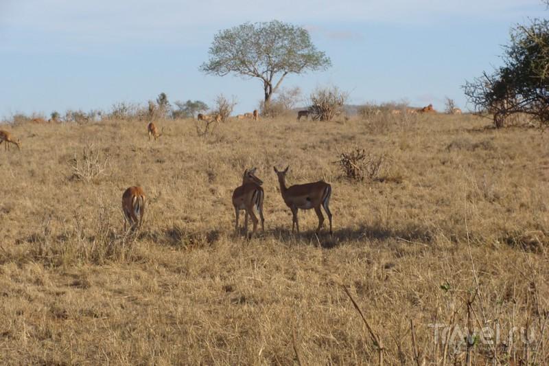 Кения. Восточный Цаво / Кения