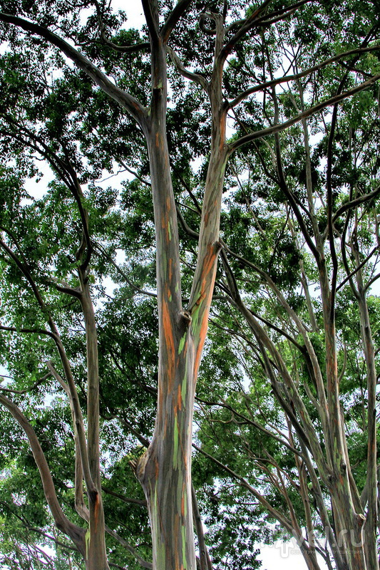 Ананасовая плантация Dole Pineapple Plantation на острове Оаху, Гавайи / США