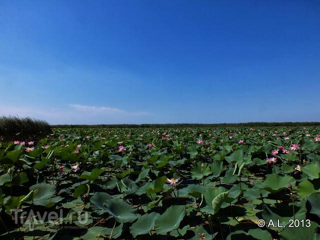Астрахань: лотосовые поля / Россия