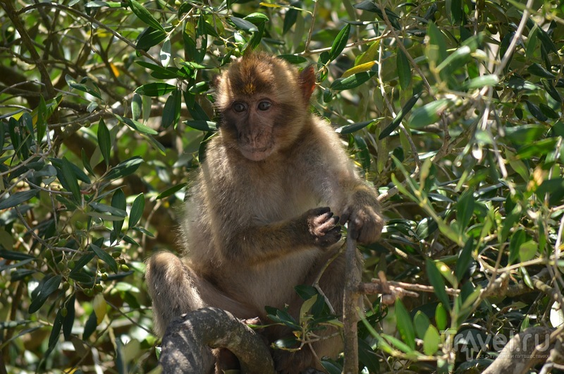 В гостях у обезьян. Гибралтар 2014 / Фото из Гибралтара