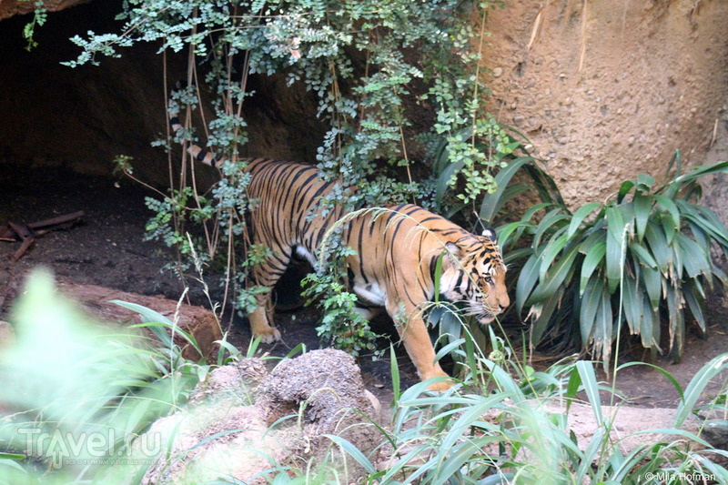 Зоопарк Сан-Диего. Тигры и панды / США