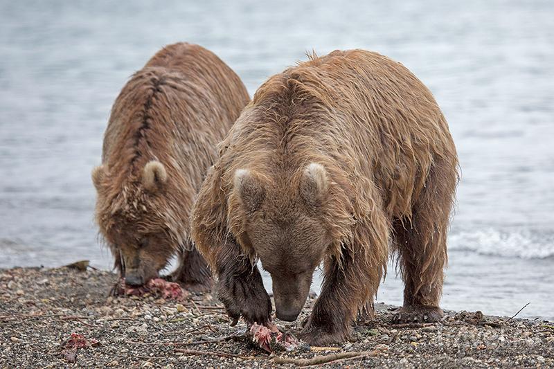 Камчатка. Земля медведей / Фото из России