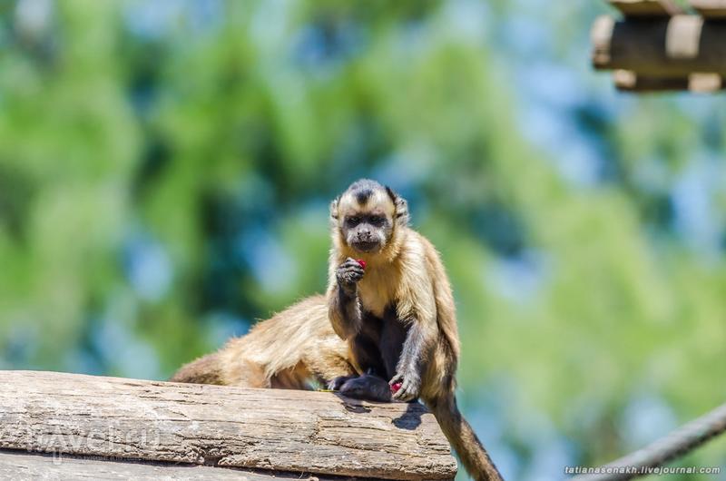 Зоо-Лагуш. Пятничные капуцины / Португалия