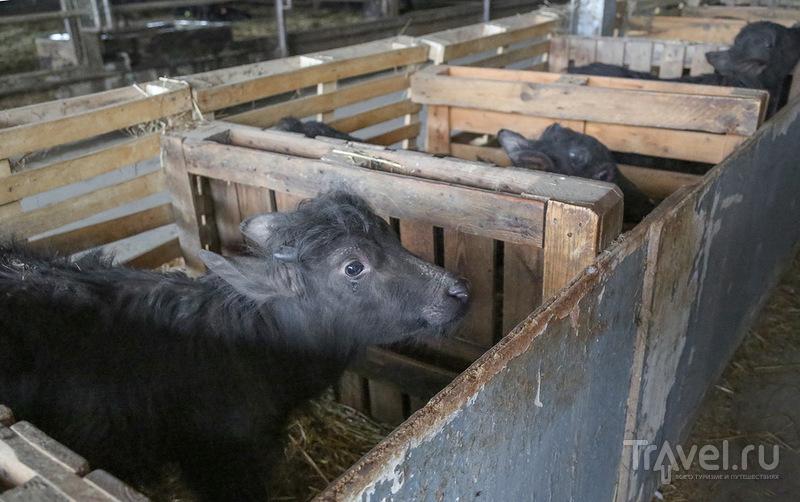 Чёрные буйволы и моцарелла / Италия