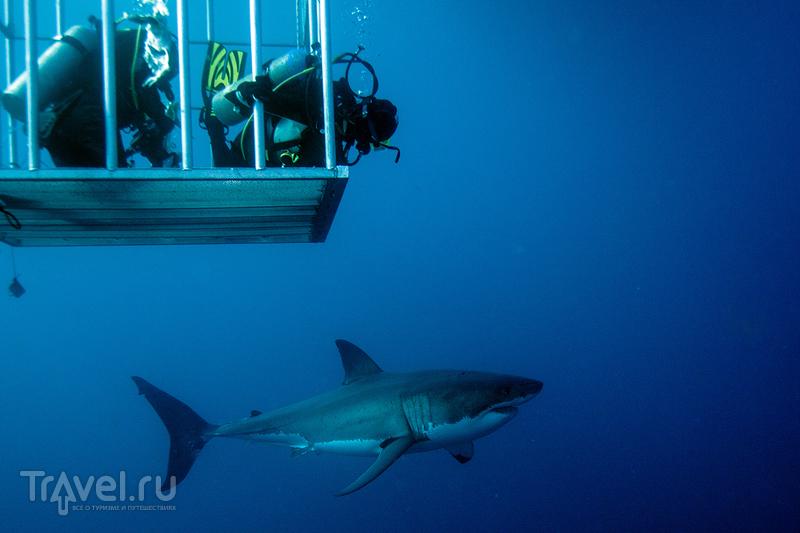 Остров Гуаделупе. Большая Белая Акула / Мексика