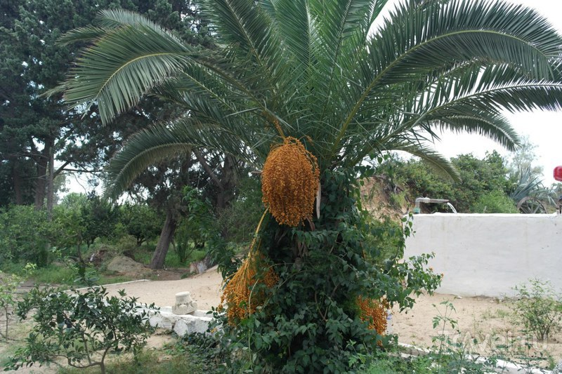 Хаммамет, Тунис - L'Orangeraie (Цитрусовый и фруктовый сад) / Тунис