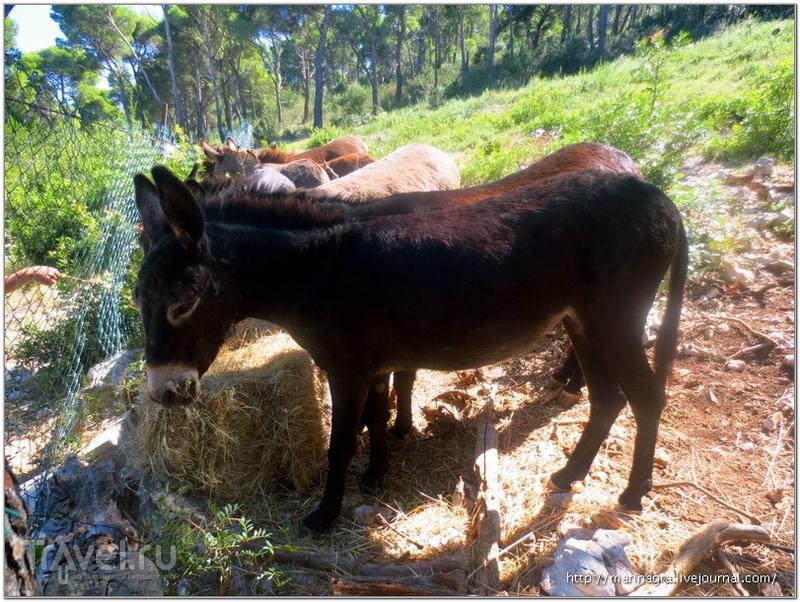Остров Дуги Оток в Хорватии: отвесные скалы и далматинские ослики / Фото из Хорватии