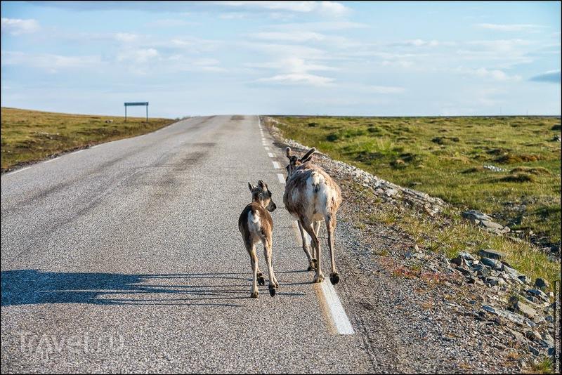 Around the Norge. Северный олень! / Норвегия