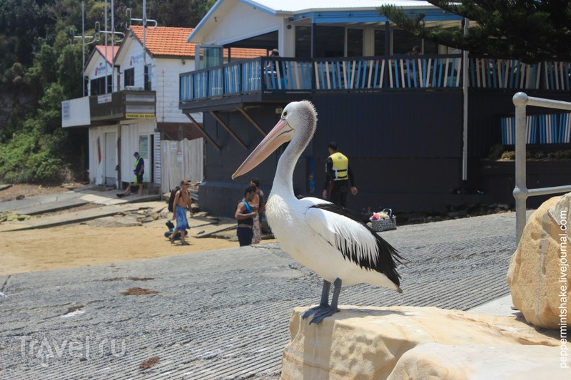 Австралия. Пеликаны в окрестностях Сиднея / Австралия