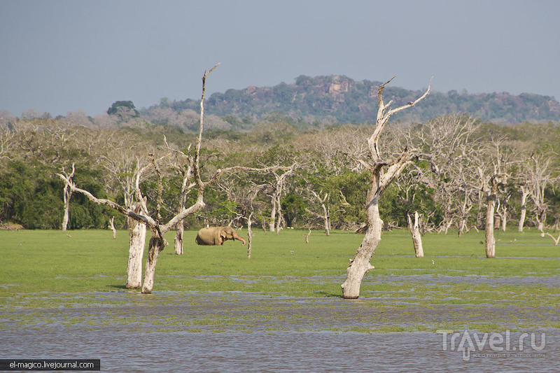 В мире животных. Национальный заповедник Яла / Фото со Шри-Ланки