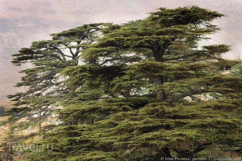 Когда воспоминания похожи на мечты. Божественный кедровый лес. Ливан / Ливан