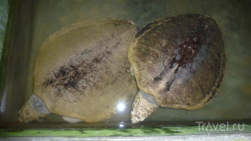 Черепашья ферма в Косгоде. Черепахи как источник наживы местного населения / Шри-Ланка