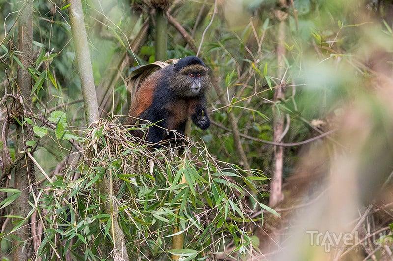 Золото Руанды. Золотистые мартышки / Фото из Руанды