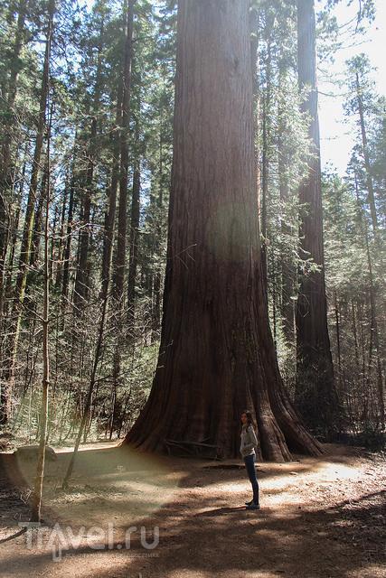 Большие деревья из Calaveras Big Trees парка / Фото из США