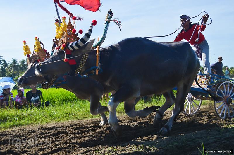 Мир наизнанку на буйволином ралли / Индонезия