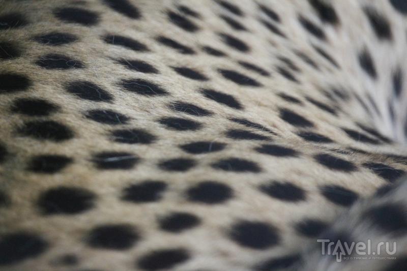 Гепарды: портреты необычных кошек / Кения