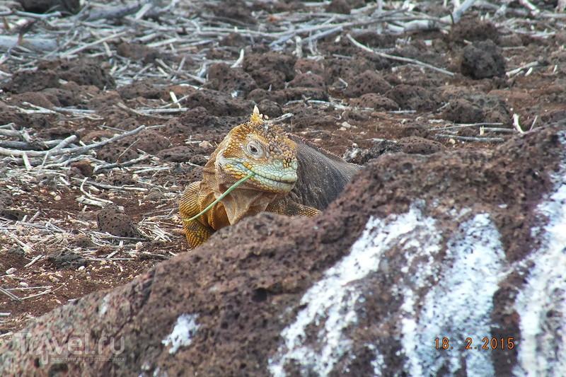 Галапагосы. Остров Северный Сеймур. Желтые игуаны / Эквадор