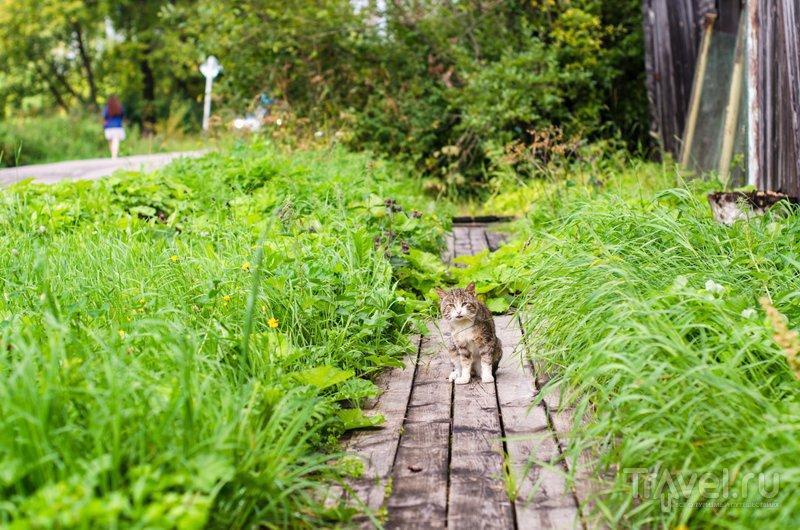 По деревянным мостовым Каргополя гуляют множество котов / Фото из России