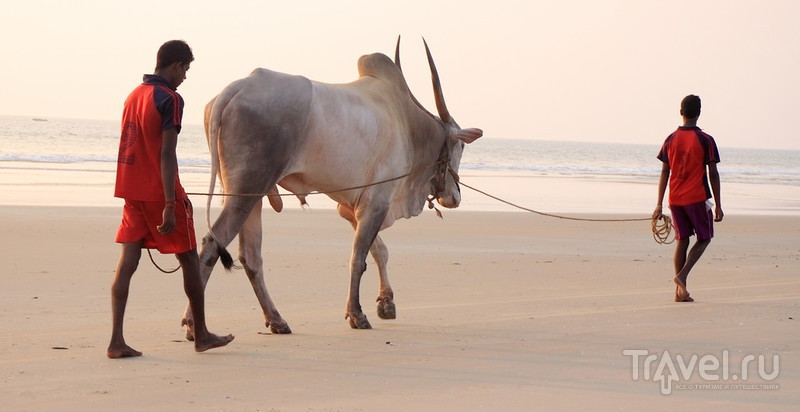 Южный Гоа и тёлки на пляже / Фото из Индии