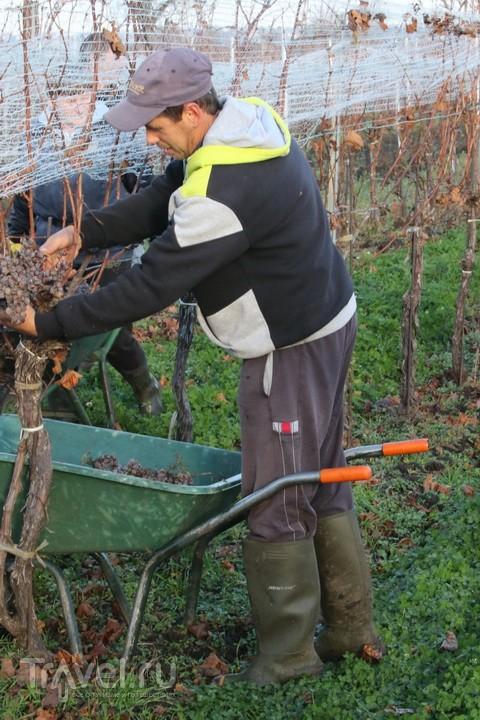 Будет сладкое вино! Урожай собрали / Австрия