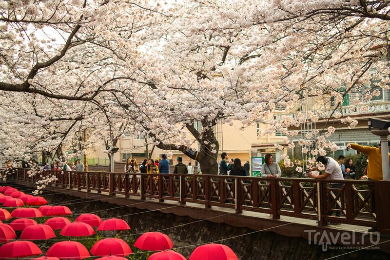 Как в Корее обстоят дела с сакурой / Фото из Южной Кореи