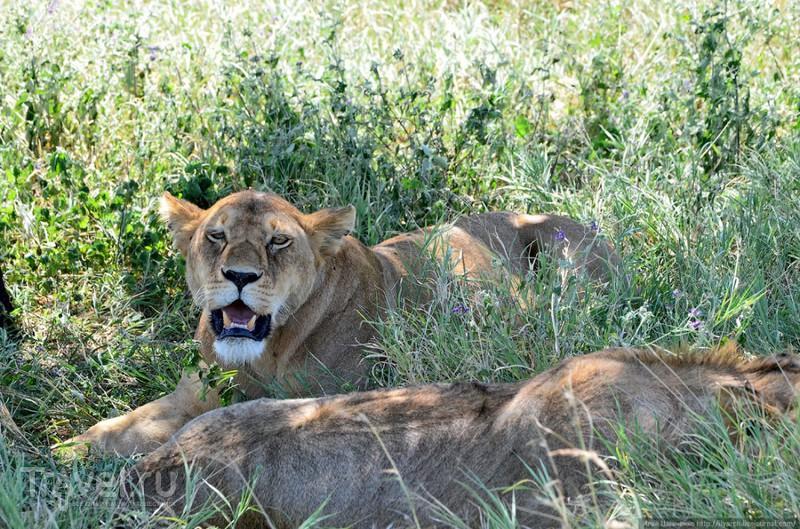 Львиные прайды в Серенгети / Фото из Танзании