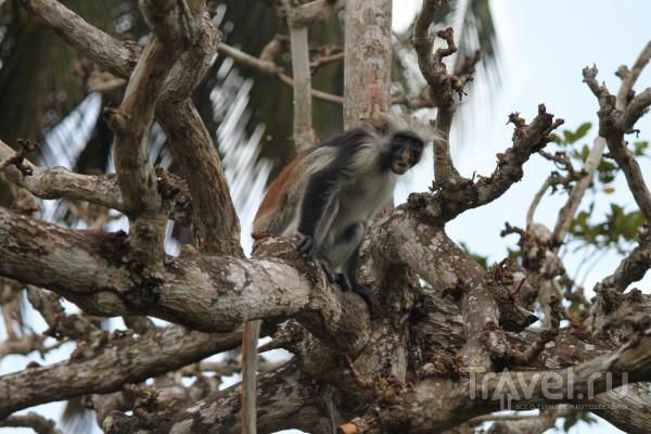 Колобусы Кирка, одни из самых редких африканских приматов, Занзибар, Танзания / Танзания