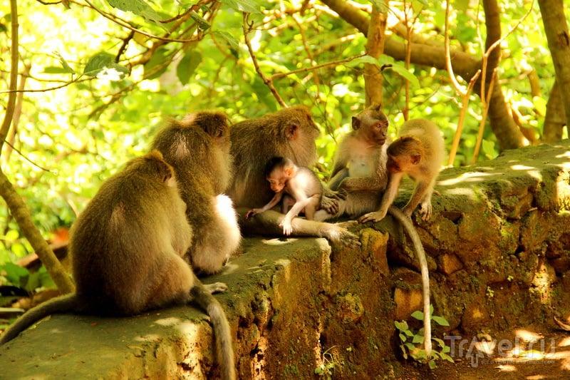 В Убуде где в лесу много диких обезьян (Обезьяний лес, Бали, Индонезия) / Фото из Индонезии